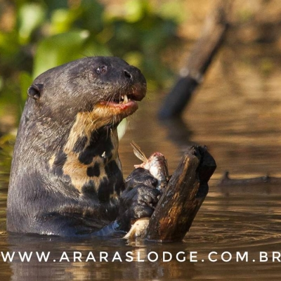 Protecting the Giant Otters