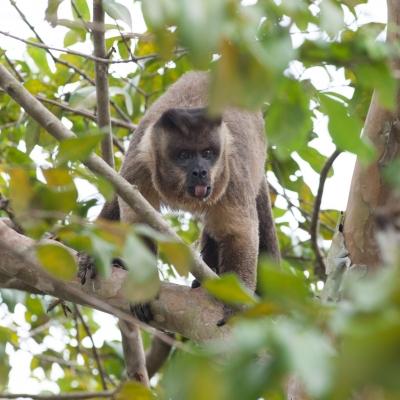 Macaco Capucino